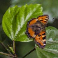 Домашняя бабочка :: Александр Мезенцев