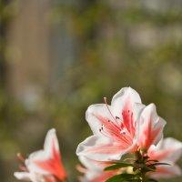 В Ботаническом саду цветут азалии :: Татьяна Петранова