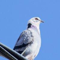 голубь белоголовый как орел американский :: Александр Деревяшкин