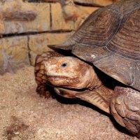 черепаха :: elena manas