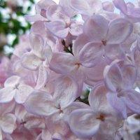 Цветёт сирень. :: Нина