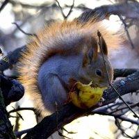 Белка ест яблочко :: Сергей