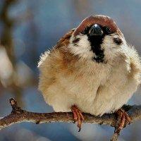 Кстати о птичках... Сегодня праздник у меня - День Воробья ! :) :: Александр Резуненко