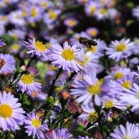 И пчёлка на нектар летит... :: Svetlana Baglai