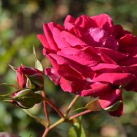 Роза с бутонами :: Наталья Тагирова