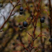 Ягоды и дождь :: Евгений нитко