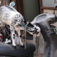 козы на Чор базаре Мумбаи :: maikl falkon