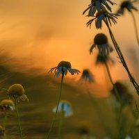 Ромашки на закате :: Марат Макс