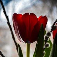 Весна. Тюльпаны :: Дарья Селянкина
