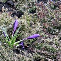 Крокус первый из цветов, что весной цвести готов. :: Валентина ツ ღ✿ღ
