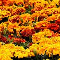Солнечные цветы. :: Нина