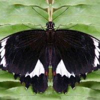 Orchard Butterfly ,Papilio aegeus aegeus,мужчина :: Антонина