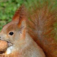 Белочка с орешком :: Nina Streapan