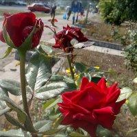 Три розы тянулись к прохожим... :: Нина Корешкова