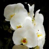 Орхидея белая :: Андрей Зайцев