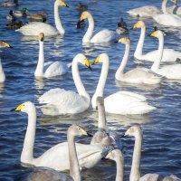 Лебеди-кликуны. Алтай. с.Урожайное :: Анна Печкурова