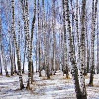 Берёзовый рай. :: Ирина Нафаня