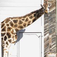 жираф зоо :: Ирина Сафонова