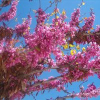 Церсис - Иудино дерево :: Герович Лилия