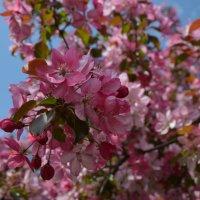Цветение розовой яблони :: Сергей Тагиров