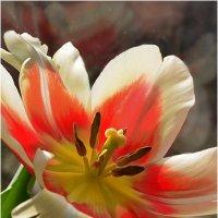 Tulips :: Татьяна Кретова