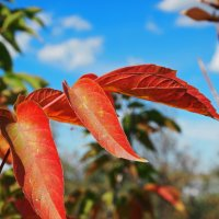 Кленовый лист осенний... :: Александр Попов
