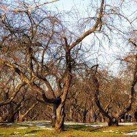 Весна. Яблоневый сад. :: Владимир Болдырев