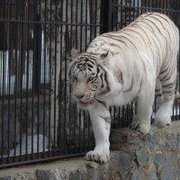 Тигрица, но не рыжая а белая. :: cfysx