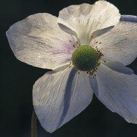 Цветок :: Владимир Шамота