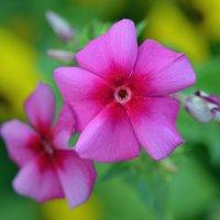 Цветок флокса :: Татьяна Соловьева