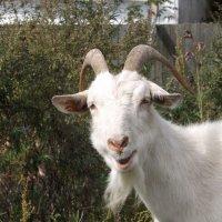 Любопытная коза :: Сергей Казаченко