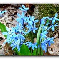 Голубые-голубые. :: Чария Зоя