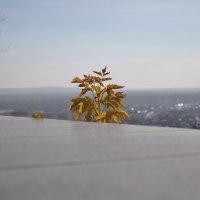Желтые листья на фоне горизонта :: Сергей Тагиров
