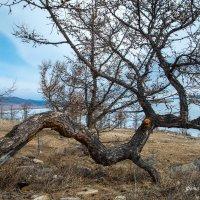 криволесье на Байкале :: наталья