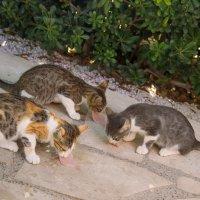 Кипрские кошки. :: Татьяна Калинкина