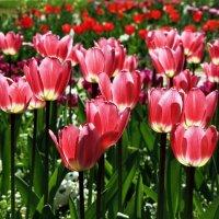 Бокалы весны :: Alexander Andronik