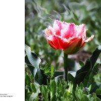 Tulip. :: Аnatoly Polyakov