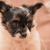Маленький месячный щеночек папийона :: Ирина Малышева