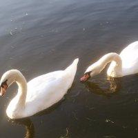 Лебеди :: Areana Alena