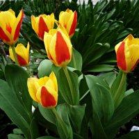 Тюльпаны... :: Galina Dzubina