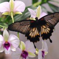 Бабочка и орхидея :: Юрий Белоусов