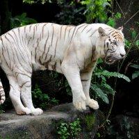 Белый тигр :: Юрий Белоусов