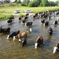 Коровы стройною толпой покорно шли на водопой... :: ВИКТОРИЯ Т