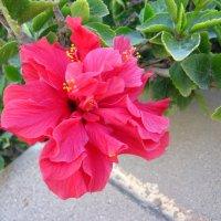 Суданская роза :: Lukum