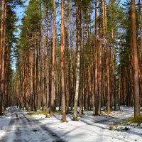 в сосновом лесу :: Валентина Папилова
