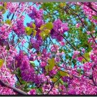 сиреневая  весна ! :: Ivana