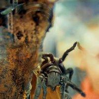"паук птицеед ""Grammostola pulchra"" :: Андрей Краснолуцкий"
