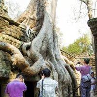 Гигантские корни тропических деревьев разрушают индуистские храмы Анкора.. :: Cергей Павлович