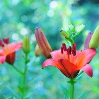 Цветок лилии :: Сергей Тагиров