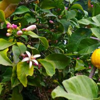 vit5  лимон цветёт :: Vitaly Faiv